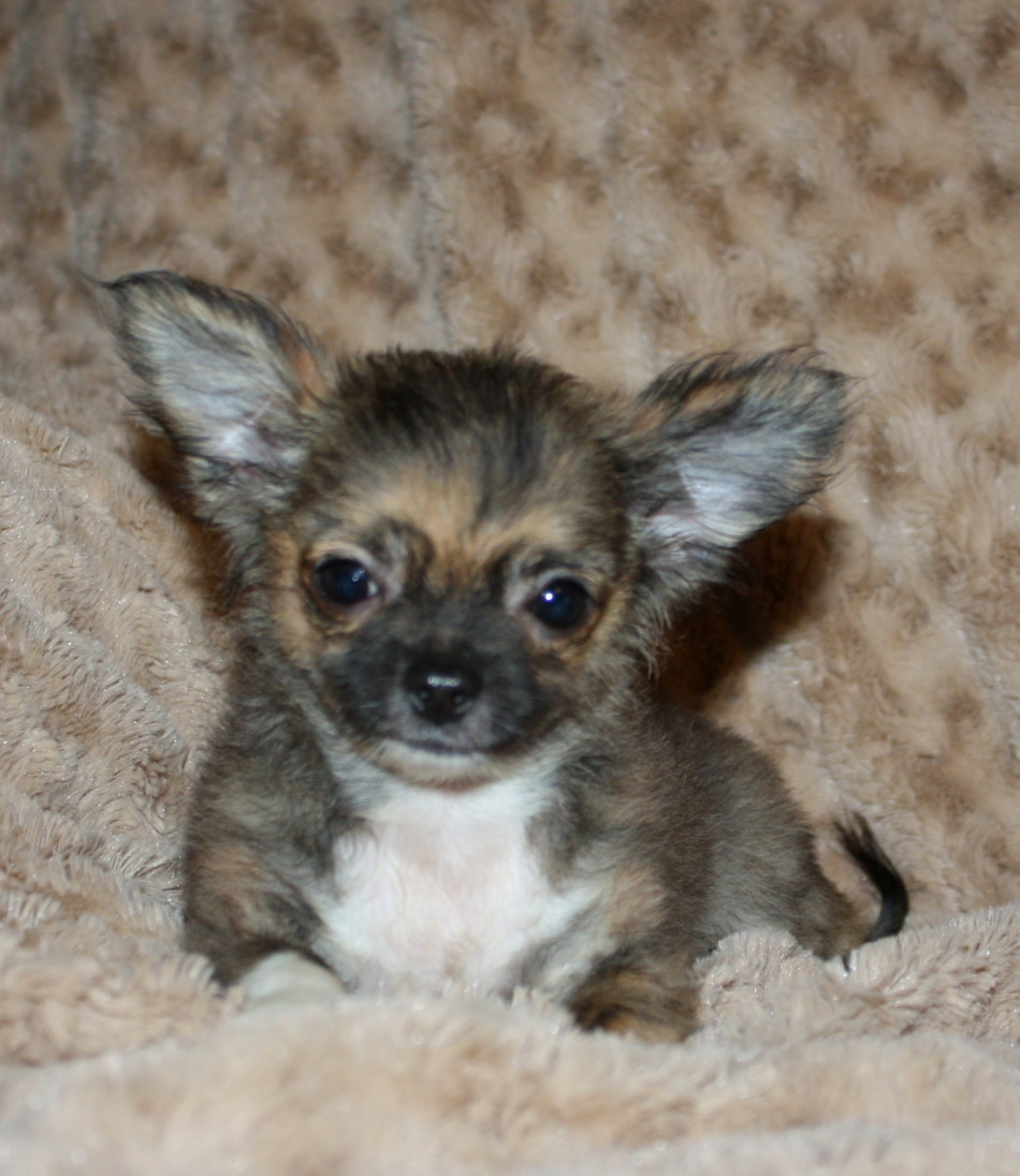 brindle chihuahua for sale brindle chihuahua puppies for sale goldenacresdogs com 1275